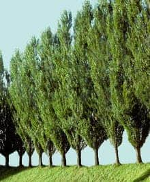 The poplar tree.