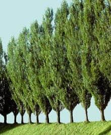 The poplar tree.