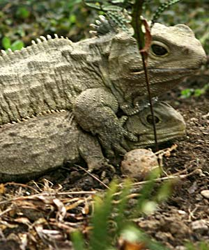 Lambert And His Team From The Allan Wilson Centre For Molecular Ecology Evolution Performeda Study Of New Zealands Living Dinosaur Tuatara