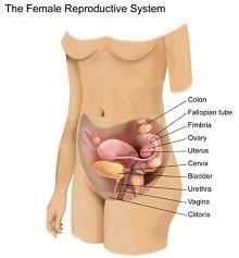 menstrual