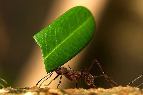 34ba9_leaf-cutting-ants-06