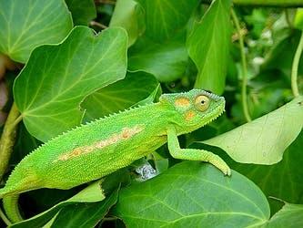 chameleon-1544