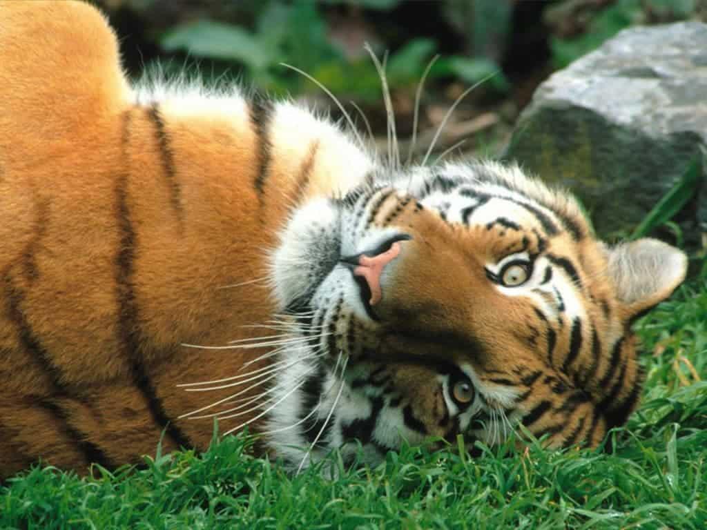 siberian tigers face dramatic decline drawing near extinction