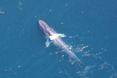 full_bluewhale_6