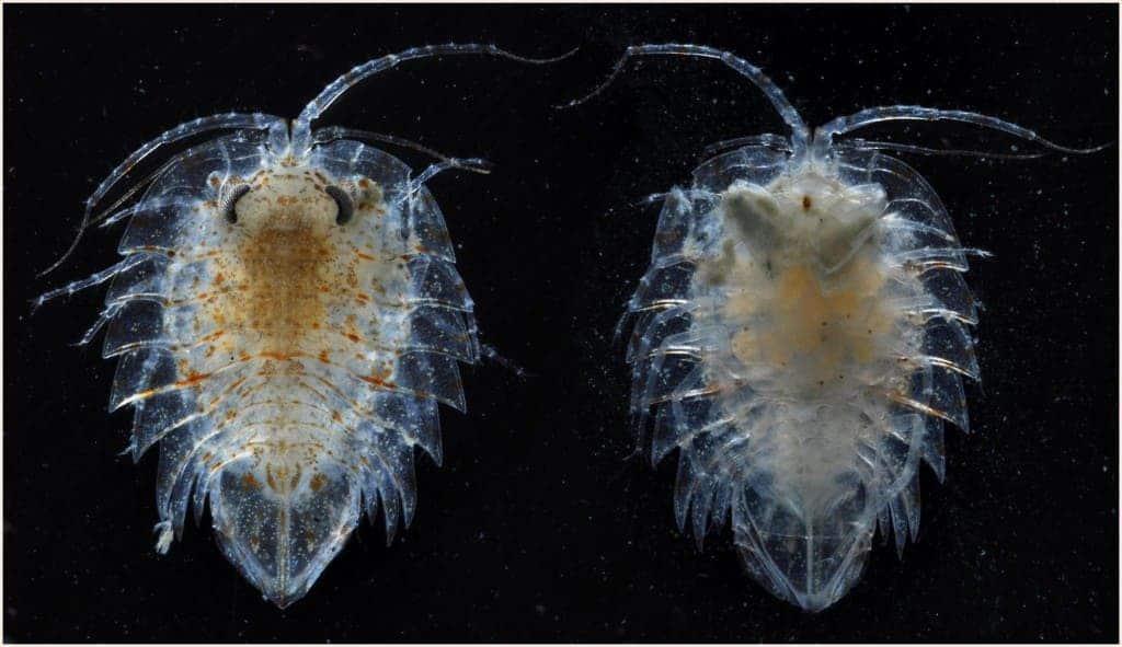 069_isopod_crustacean