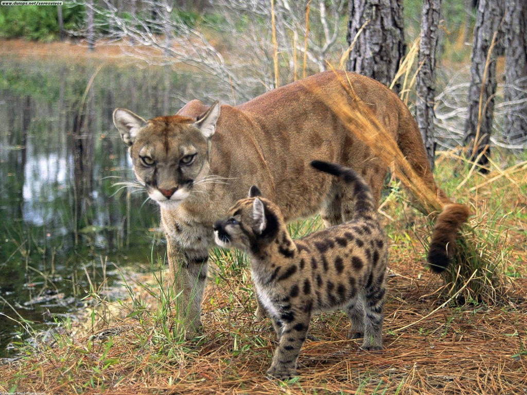 florida_panther_with_cub