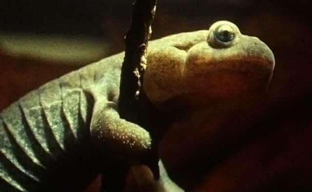 siberian_salamander_1
