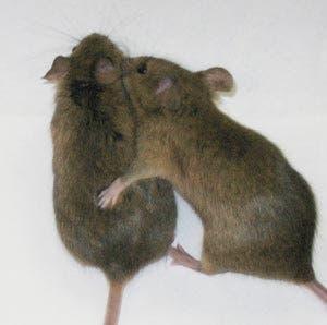 mice-sex