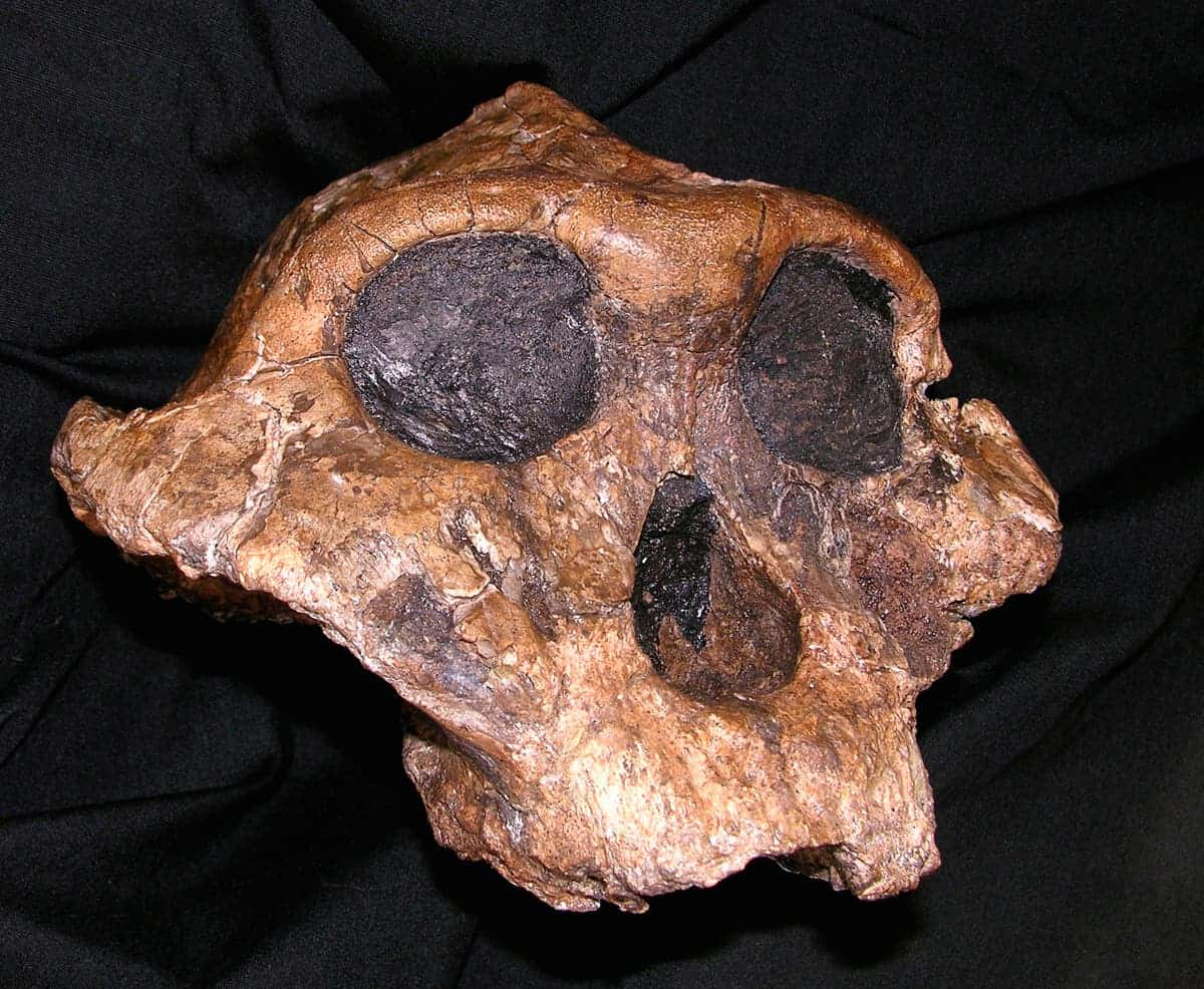 the skull of Paranthropus boisei, known for decades as Nutcracker Man because of its large, flat teeth. (c) AP Photo/David Brill, National Museums of Kenya