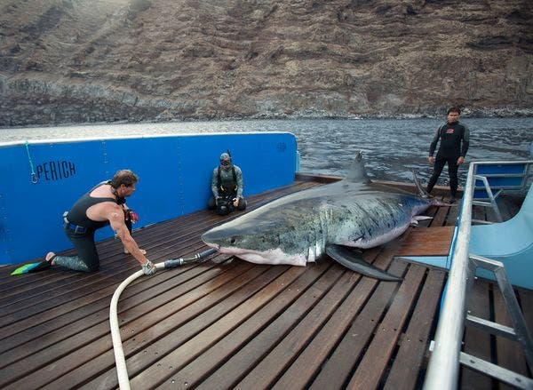 The Shark Men crew as they work had to keep the 18 feet great white shark nicknamed Apache alive on board their boat.