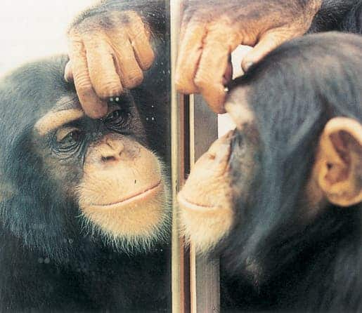 Chimp self-awareness