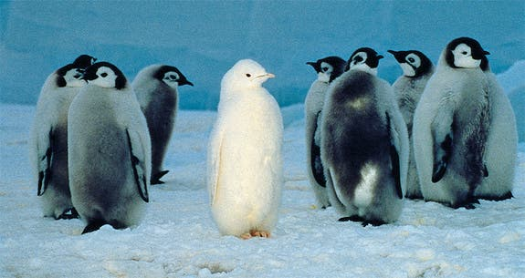 amazing picture of white penguin