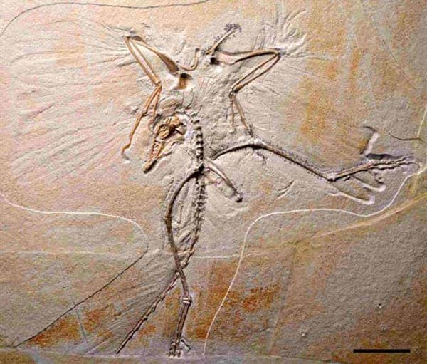 An Archaeopteryx specimen highlights wing and tail feather impressions. (c) G. Mayr / Senckenberg