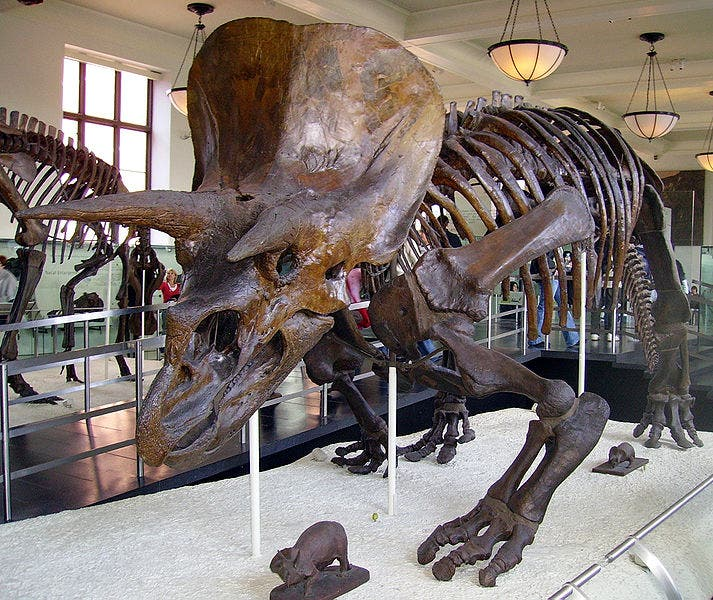 Triceratops horridus skeleton at the American Museum of Natural History in New York City