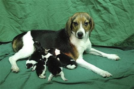 a genetically modified dog Tagon and her puppies are seen at Seoul National University (SNU)'s College of Veterinary Medicine in Seoul. (c) REUTERS/Seoul National University/Handout