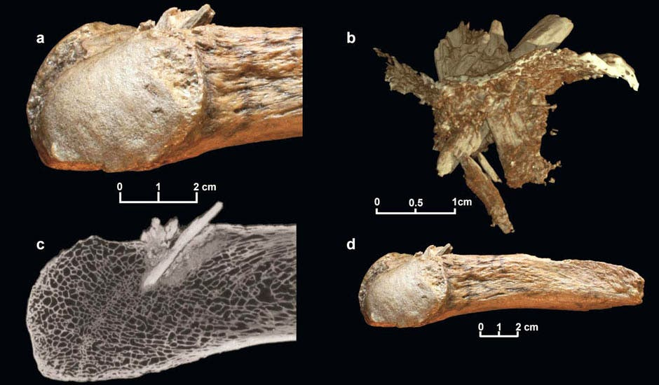Mastodon rib bone with the embedded foreign mastodon bone sharp shard embedded into it. Seen above are four instances: (a) Closeup view; (b) reconstruction showing the bone point with the broken tip (the thin layer represents the exterior of the rib); (c) CT scan; (d) the entire rib fragment. Photograph: University of Copenhagen/PA