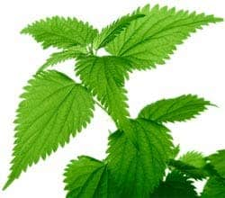 A simple nettle. This one has plenty of light, though.