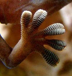 Close-up of the underside of a gecko's foot as it walks on vertical glass. (c) Wikicommons
