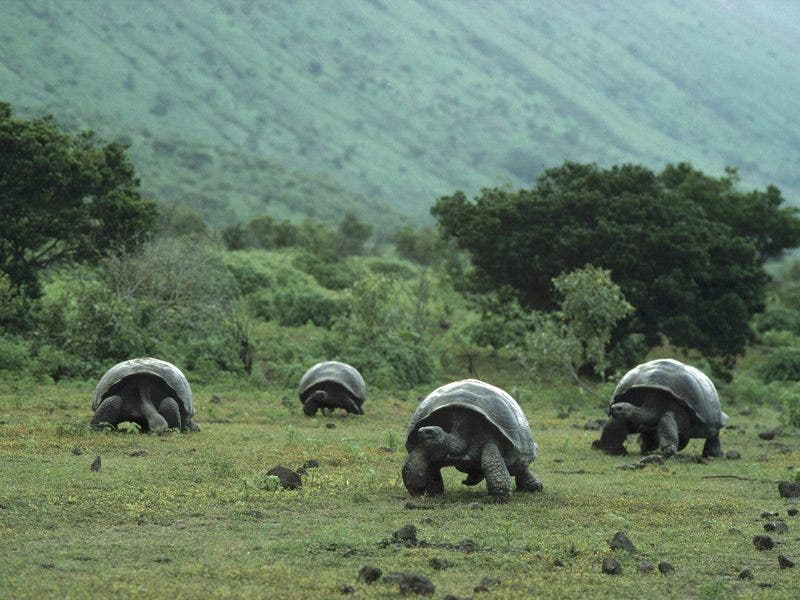 Giant Galapagos Tortoises in Isabela Island, Galapagos. Adults of large subspecies can weigh over 300 kilograms (660lb) and measure 1.2 meters (4 ft) long. Although the maximum life expectancy of a wild tortoise is unknown, the average life expectancy is estimated to be 200 years.