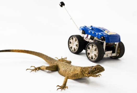An Agama lizard next to the Tailbot, a robot that can automatically adjust its position to pitch-forward, similar to the way the lizard uses its tail. (c) Robert Full lab, UC Berkeley