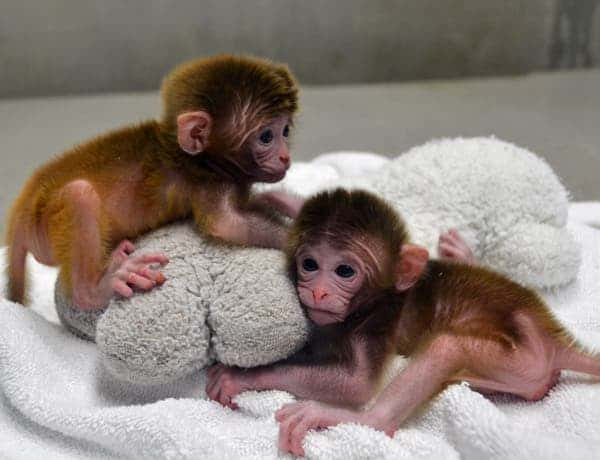 "The rhesus monkey twins, Roku and Hex (""six"" in Japanesse and Greek respectively, since they were made from six distinct genetic entities), in sound health posing for the researchers. (c) OHSU"
