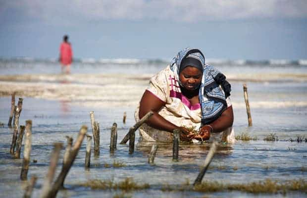 Seaweed farmer Nyafu Juma Uledi tends her crop in a tidal pool on Zanzibar Island in Tanzania, which exports thousands of tons of the greenery to Asia annually. (Photo: Finbarr O'Reilly/Reuters)