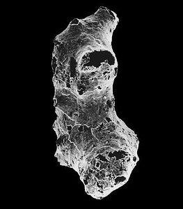 Electron microscope scanning view of Otavia antiqua. (c) Image courtesy Anthony Prave, University of St. Andrews