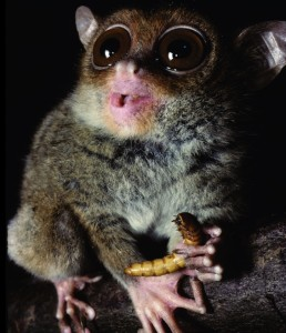 The Philippine tarsier has the highest-pitch vocal abilities out of all the primates in the world. Here it is pictured holding his favorite snack. (c) David Haring