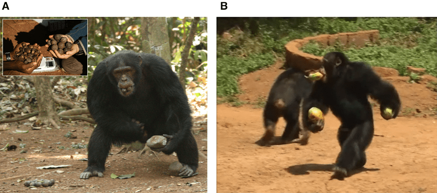 (A) An adult male chimpanzee seen holding tools (anvil in left hand, hammer in left foot) and Coula edulis nuts (mouth and right hand) part of a nut-cracking session. (B) Adult male chimpanzee seen carrying three papayas (one in each hand and one in mouth) during crop-raiding. (c) W C M McGrew