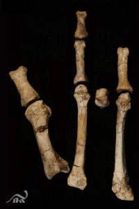 The Burtele partial foot after cleaning and preparation. (c) Yohannes Haile-Selassie/The Cleveland Museum of Natural History