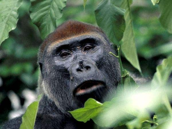 A western lowland gorilla goes eye-to-eye with the camera. (c) National Geographic