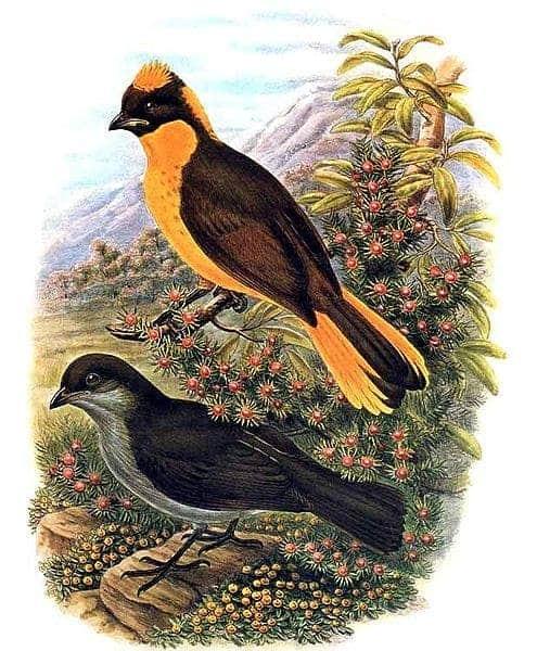 Bower Birds