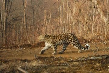 A rare Amur leopard was photographed for the first time at the Hunchun Amur Tiger National Nature Reserve in northern China. (Hunchun Amur Tiger National Nature Reserve /Courtesy)
