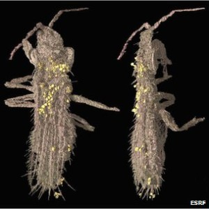 Synchrotron X-ray tomography allows the virtual extraction of the thrips from the amber. (c) ESRF