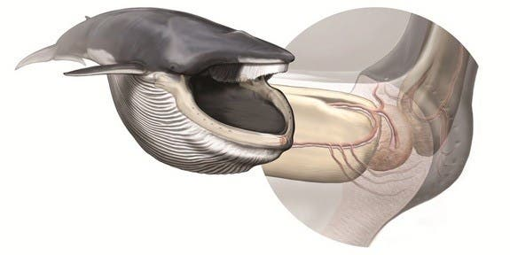 Left, a fin whale after lunging; right, anatomy of the new sensory organ,  responsible for coordinating the biomechanics of their extreme lunge-feeding strategy. Illustration by Carl Buell, arranged by Nicholas D. Pyenson / Smithsonian Institution.
