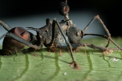 Zombie-ant fungus infection