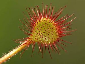 drosera carnivorous plant