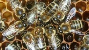 Verroa infected honeybees (as seen on the bodies), carry a lethal strain of the  deformed wing virus, supposedly responsible for the death of billions.