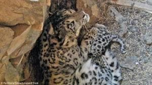 Snow Leopard den