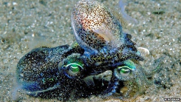Promiscuous Dumpling Squid Has A Short Life Expectancy Due -4684