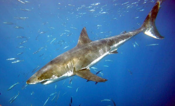 Several groups are seeking to have the great white shark declared an endangered species by the federal government. (Al Seib, Los Angeles Times )