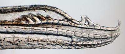 Four hook genitalia