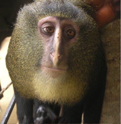 Lesula Monkey Congo