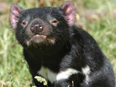 40 baby tasmanian devils born sparking new hope for the species - Tasmanian devil pics ...