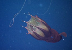 Close up view of a vampire squid with its feeding tentacle or filaments extended. Researchers discovered that vampire squids do not usually eat live prey, but consume bits of organic debris that sink past the animal as it drifts in the oxygen minimum zone, hundreds of meters below the ocean surface.