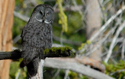 The giants with piercing yellow eyes and 5-foot wingspans have adapted so well to snow that they can dive face-first through up to a foot of it to catch the voles they hear creeping underneath.