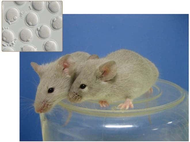 Adult mice grown from eggs and sperm induced by pluripotent stem cells. (c) Mitinori Saitou and Katsuhiko Hayashi