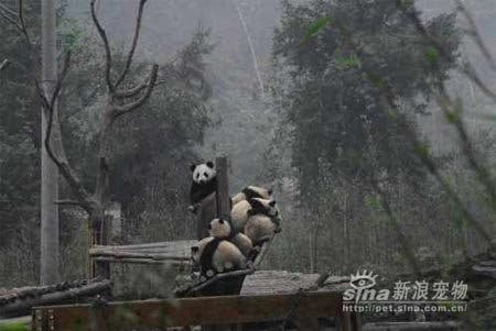 Pandas Scared After The 2008 Sichuan Earthquake Warning