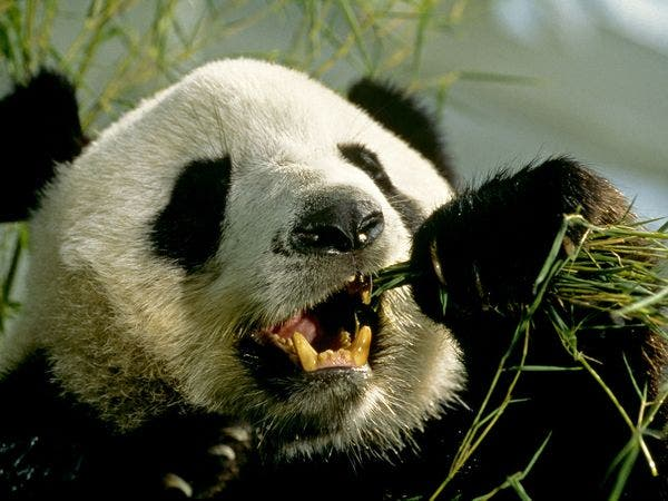 a study on the giant panda Biosocial reciprocity in environmental communication: a study of giant panda conservation communication in china a thesis by liuqing yang submitted to the office of graduate studies of.