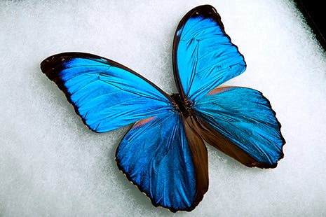 A Giant Blue Morpho butterfly.